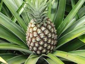 Фрукты и ягоды – залог здоровья ананасы