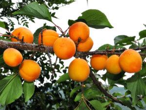 Фрукты и ягоды – залог здоровья абрикосы