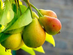 Фрукты и ягоды – залог здоровья груша